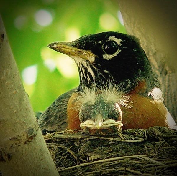 Male-American-Robin-on-nest-©-Ann-MacRae 2