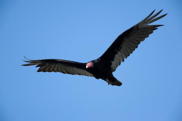 dn_249_-_20190226_-_turkey_vultures_-_vulture_turkey_0029