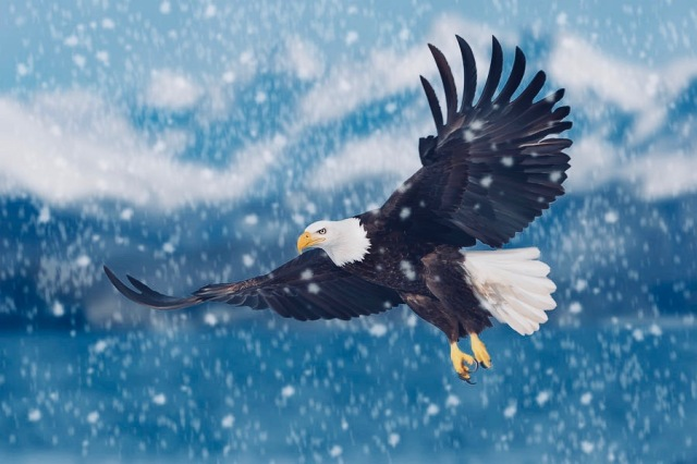 bald-eagle-flying-in-snow-mark-miller 2
